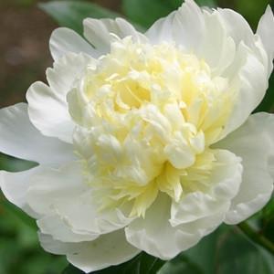 Paeonia Lactiflora 'Laura Dessert', Peony 'Laura Dessert', 'Laura Dessert' Peony, Chinese Peony 'Laura Dessert', Common Garden Peony 'Laura Dessert', White Peonies, White flowers, Fragrant Peonies