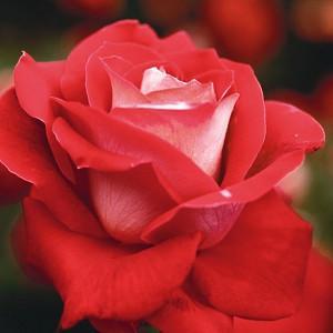 Rosa 'Love', Rose 'Love', Rosa 'JACtwin', Grandiflora Roses, Shrub Roses, Red roses, Bicolor Roses, Rose bush