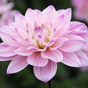 Dahlia 'Karma Prospero', 'Karma Prospero' Dahlia, Water Lily Dahlias, WaterLily Dahlias, Pink Dahlias, Dahlia Tubers, Dahlia Bulbs, Dahlia Flower, Dahlia Flowers, summer bulbs