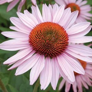 Echinacea Purpurea 'Hope' ,Coneflower 'Hope', Echinacea Purpurea 'Hope', Pink coneflower, Pink coneflowers, Pink Echinacea, Coneflower, Coneflowers