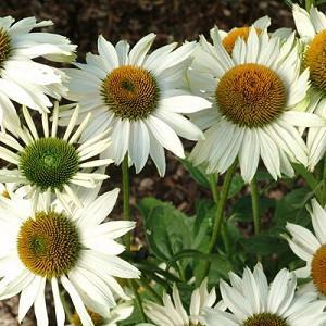 Echinacea Purpurea 'Fragrant Angel',Coneflower 'Fragrant Angel', Echinacea Purpurea 'Fragrant Angel', White coneflower, White coneflowers, White Echinacea, Coneflower, Coneflowers