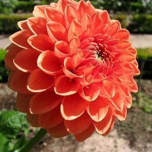 Dahlia 'Bantling','Bantling' Dahlia, Pompon Dahlias, Orange Dahlias, Dahlia Tubers, Dahlia Bulbs, Dahlia Flower, Dahlia Flowers, summer bulbs
