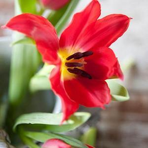 Tulipa Pretty Woman, Tulip 'Pretty Woman', Lily-Flowered Tulip 'Pretty Woman', Lily-Flowering Tulip Pretty Woman', Lily-Flowered Tulips, Spring Bulbs, Spring Flowers, Red tulip, mid late season tulip, mid late spring tulip