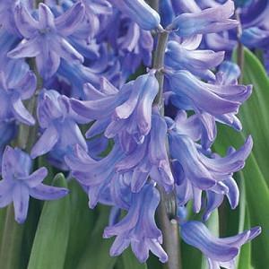 Hyacinthus Orientalis 'Blue Festival', Hyacinth 'Blue Festival', Multi-flowering Hyacinth, Dutch Hyacinth, Hyacinthus Orientalis, Hyacinthus Multiflora, Spring Bulbs, Spring Flowers, blue hyacinth, blue flower