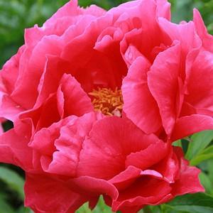 Paeonia 'Paula Fay', Peony 'Paula Fay', 'Paula Fay' Peony, Pink Peonies, Pink Flowers, Fragrant Peonies