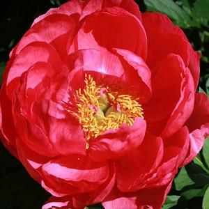 Paeonia 'Cytherea', Peony 'Cytherea', 'Cytherea' Peony, Pink Peonies, Pink Flowers, Fragrant Peonies