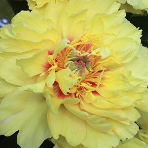 Paeonia 'Garden Treasure', Peony 'Garden Treasure', 'Garden Treasure' Peony, Itoh Peony 'Garden Treasure', Intersectional Peony 'Garden Treasure', Yellow Peonies, Yellow flowers, Fragrant Peonies