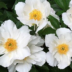 Paeonia 'Krinkled White', Peony 'Krinkled White', 'Krinkled White' Peony, Chinese Peony 'Krinkled White', Common Garden Peony 'Krinkled White', White Peonies, White flowers, Pink Peonies, Pink flowers, Fragrant Peonies