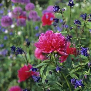 Paeonia Officinalis 'Rosea Plena', Peony 'Rosea Plena', 'Rosea Plena' Peony, Pink Peonies, Pink Flowers, Fragrant Peonies