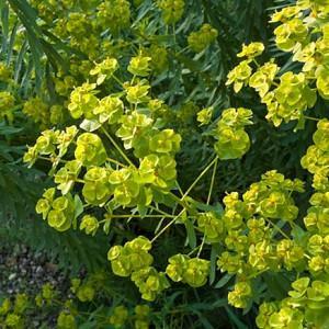 Euphorbia Seguieriana subsp. Niciciana, Siberian Spurge, Euphorbia Reflexa, Yellow flowers, Drought tolerant perennial, Deer resistant perennial, rabbit resistant perennial