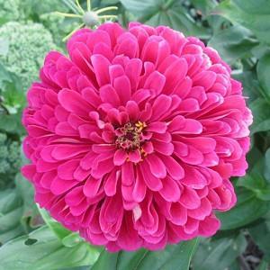 Zinnia 'Uproar Rose', Zinnia Elegans 'Uproar Rose', Uproar Rose Zinnia, Pink Zinnia, Pink Flowers