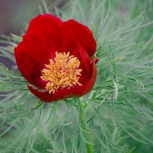 Paeonia tenuifolia,Fernleaf Peony, Fennel-Leaved Peony, Slender-Leaved Peony, Paeonia carthalinica, Paeonia hybrida, Red Peonies, Red flowers, Red Peony