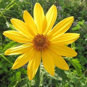 Helianthus strumosus, Woodland Sunflower, Paleleaf Woodland Sunflower, Paleleaf Sunflower, Helianthus montanus, Helianthus saxicola, Yellow Flowers, Yellow Perennials