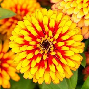 Zinnia 'Macarenia', Zinnia Elegans 'Macarenia', Macarenia Zinnia, Bicolor Zinnia, Bicolor Flowers, Red Zinnia, Red Flowers, Yellow Zinnia, Yellow Flowers