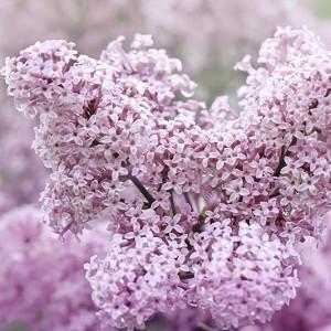 Syringa Meyeri 'Palibin', Lilac 'Palibin', Meyer Lilac 'Palibin', Dwarf Korean Lilac, Pink Lilac, Purple lilac