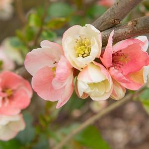 Chaenomeles speciosa 'Moerloosei',Japanese Quince 'Moerloosei', Flowering Quince 'Moerloosei', Chaenomeles speciosa 'Apple Blossom', Chaenomeles superba 'Moerloosii', Japanese Flowering Quince, Pink flowers, White flowers, Early Spring blooms