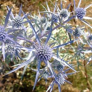 Eryngium Bourgatii 'Picos Amethyst', Mediterranean Sea Holly 'Picos Amethyst', Bourgati's Eryngo 'Picos Amethyst', Dry soils plants, Sandy soils plants, Blue flowers, Blue perennials