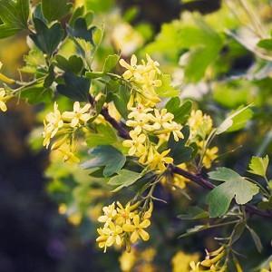 Ribes Odoratum, Clove Currant, Buffalo Currant, Missouri Currant, Golden Currant, Ribes aureum, Ribes fragrans, Black Berries, Black Currants, Yellow Flowers, flowering shrub, fragrant shrub