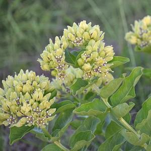 Asclepias viridis, Green Milkweed, Spider Milkweed, American Silkweed, Jewelweed, Silken Cissy, Silkweed, Green flowers