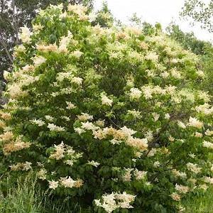 Syringa reticulata, Japanese Tree Lilac, Lilac Tree, Yellow Flowers, White Flowers, Fragrant Lilac
