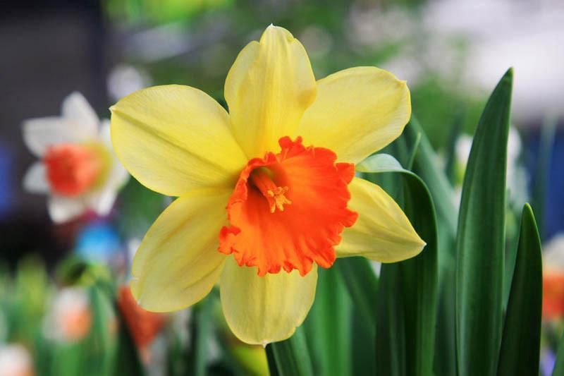 daffodil - photo #16