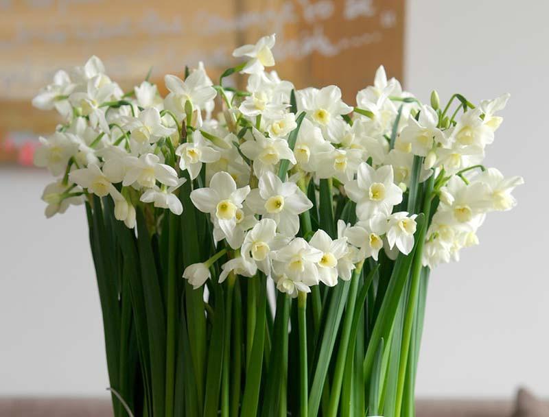1 litre pot variety Dwarf Narcissus//Daffodil /'Silver Chimes/'