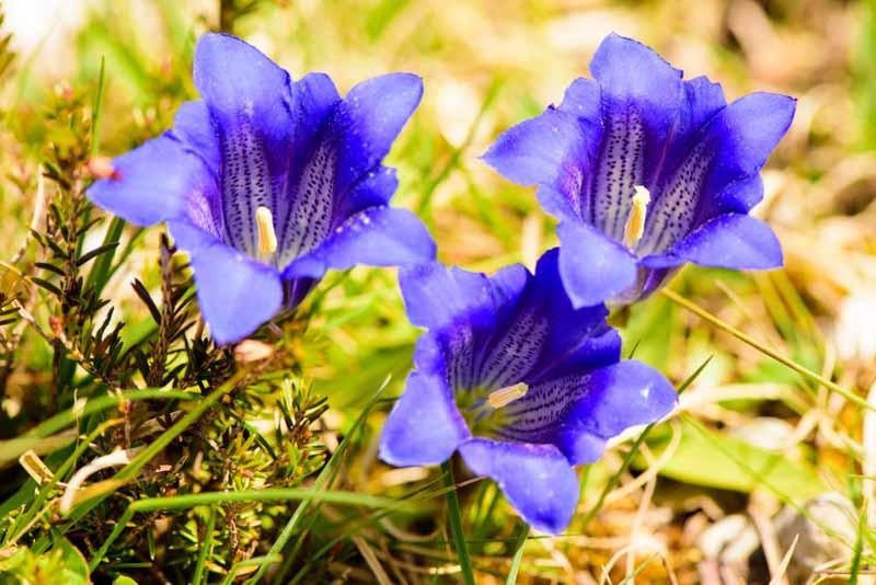 Edelweiss Perennials. Gentiana pneumonanthe