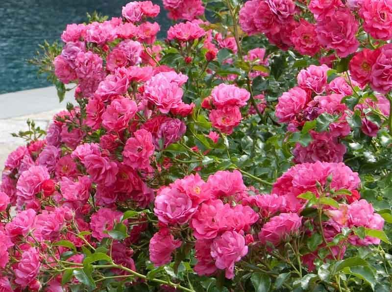 Rosa Flower Carpet Pink Supreme Groundcover Rose