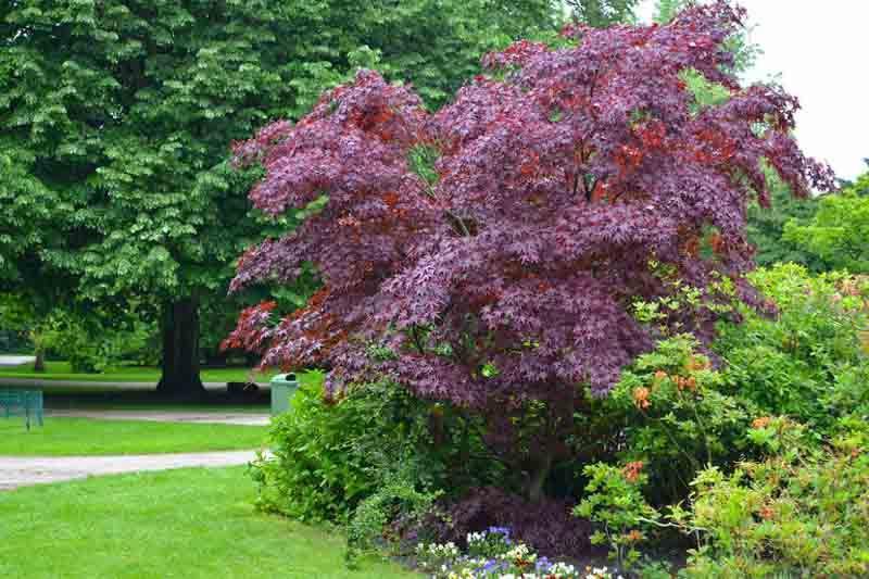 Acer Platanoides Crimson King Norway Maple