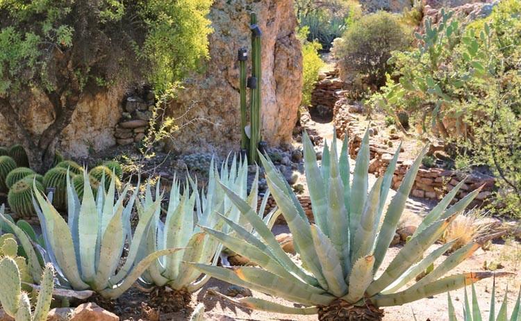 Agave Americana Century Plant
