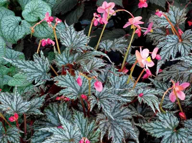 Begonia Garden Angel Silver Hardy Begonia