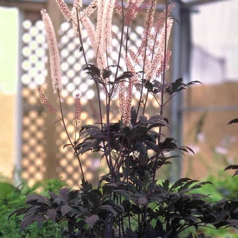 Actaea Simplex (Atropurpurea Group) 'Hillside Black Beauty
