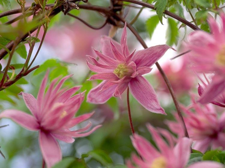 Clematis Macropetala Markham/'s Pink Climbing Plant