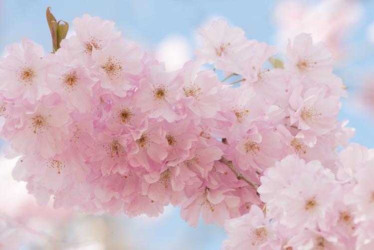 Prunus Accolade Flowering Cherry