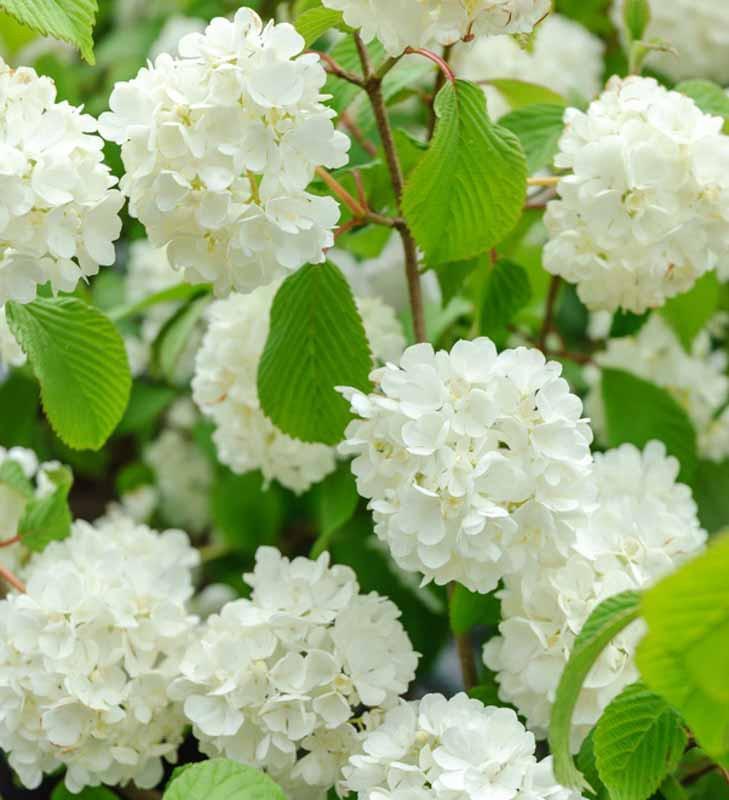 Viburnum Plicatum F Plicatum Popcorn Japanese Snowball