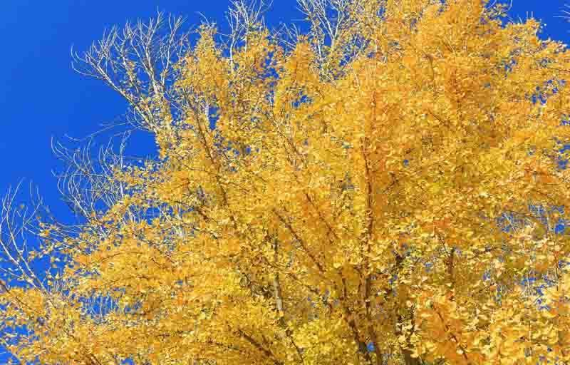 24 seeds of Ginkgo biloba Maidenhair Tree from Canada