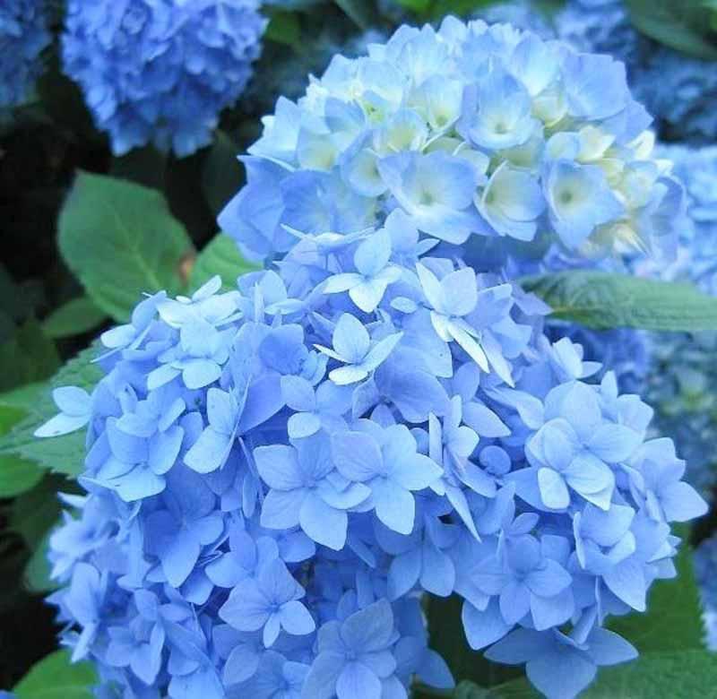 Hydrangea Macrophylla 'Nikko Blue