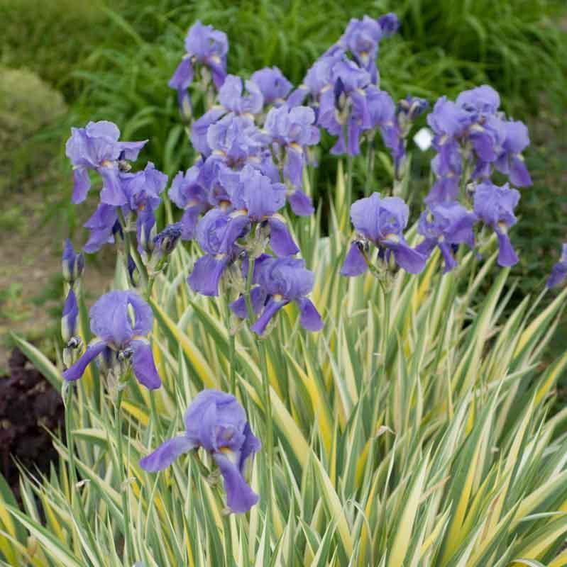 Iris%20pallida%20'Variegata'%20Optimized