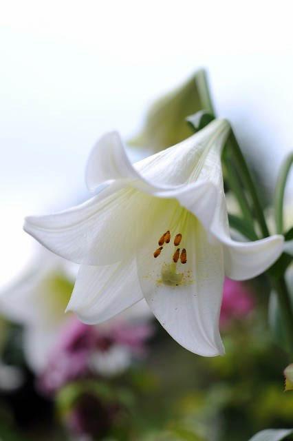 Lilium Longiflorum White Heaven Easter Lily