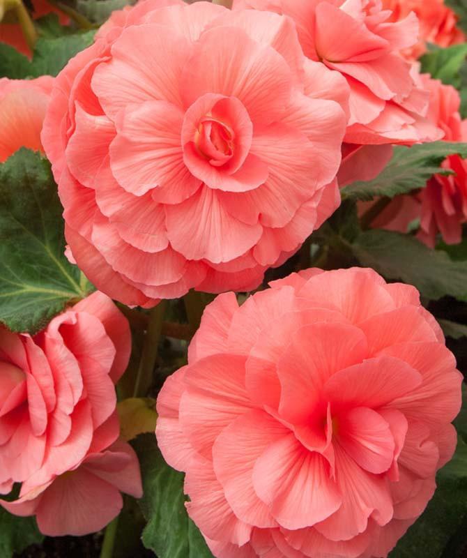 Rosa Heavenly Pink - Wikimedia Commons