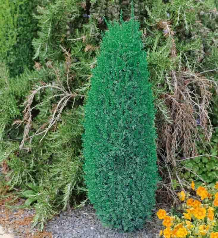 Juniperus Communis Compressa Common Juniper