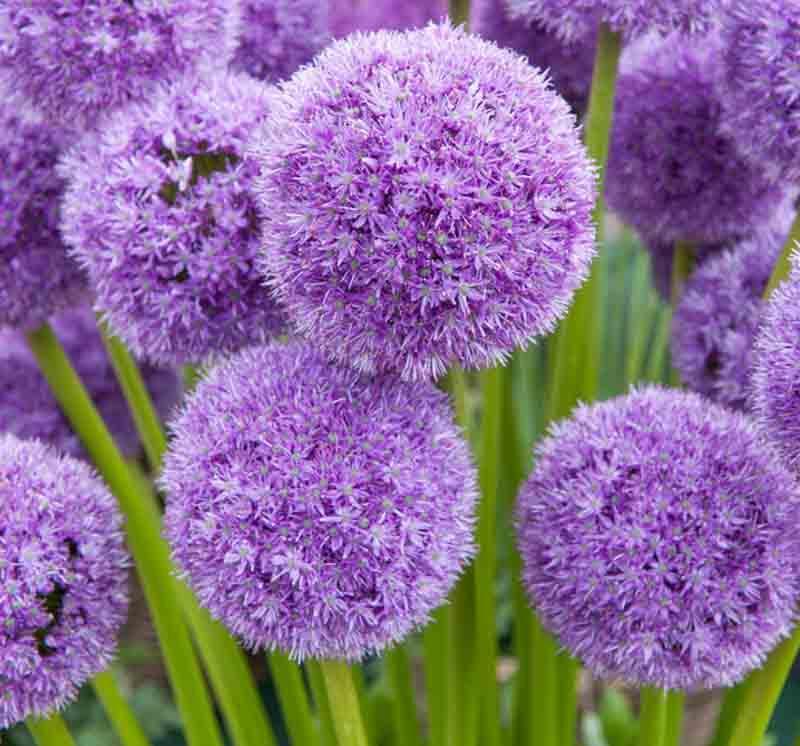 Allium His Excellency Ornamental Onion