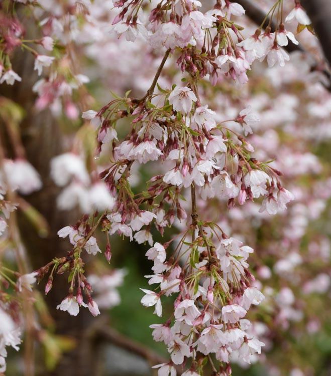 Prunus Incisa Kojo No Mai Flowering Cherry