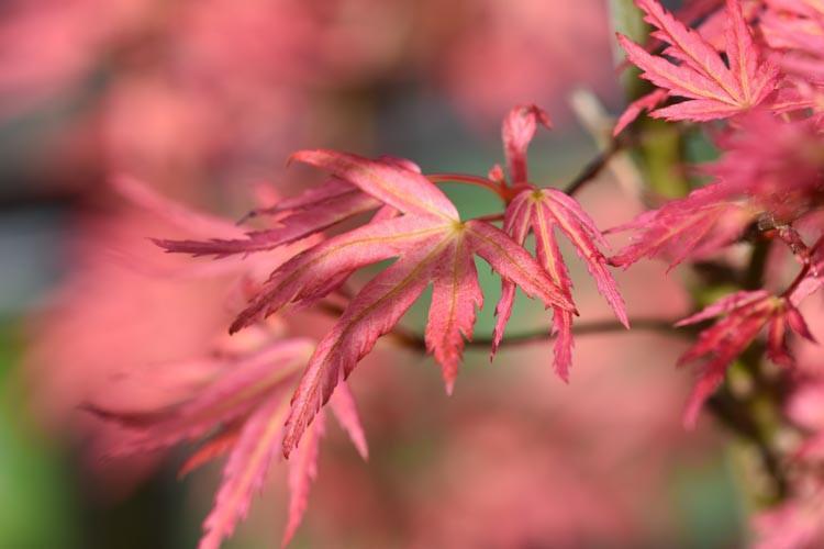 Acer Palmatum Wilson S Pink Dwarf Japanese Maple