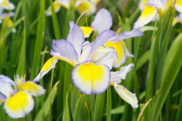 Iris Spuria, Blue Iris 'Missouri Rainbows', Spurious Iris 'Missouri Rainbows', Salt Marsh Iris 'Missouri Rainbows', Butterfly Iris 'Missouri Rainbows', Blue Iris, Blue Flowers, Bicolor Iris, Bicolor Flowers