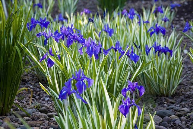Iris Laevigata 'Variegata', Water Iris 'Variegata', Rabbit-Ear Iris 'Variegata', Kakitsubata 'Variegata', Iris for Ponds, Perennial for wet soil, Perennial for poorly drained soils