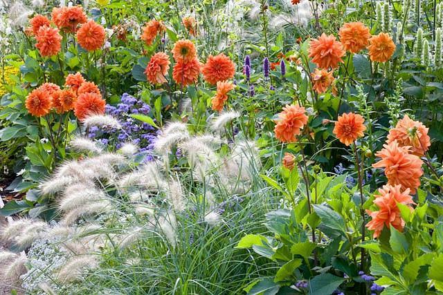 Pennisetum Villosum information, Feathertop Grass information, Foxtail Grass information