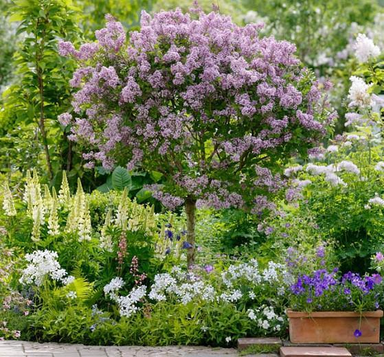 Lupinus 'Gallery White',Lupine 'Gallery White', Lupin 'Gallery White', Gallery Series, Russel Hybrids, White flowers, Cream flowers