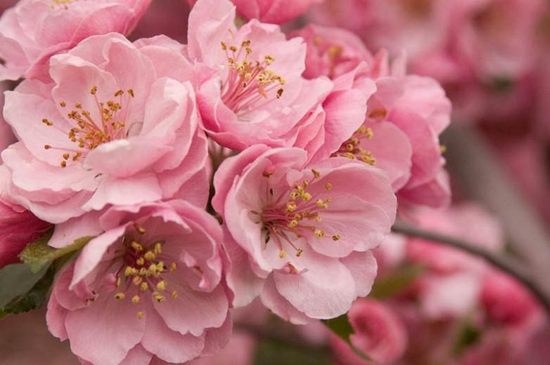 Malus 'Brandywine', Crabapple 'Brandywine', Crab Apple 'Brandywine', Fragrant Tree, Red fruit, red berries, Winter fruits, Pink flowers,Malus 'Branzam'