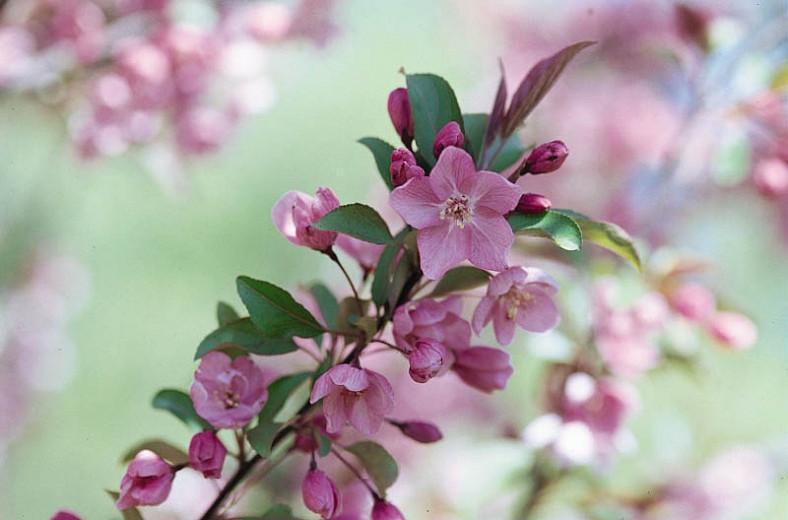Malus 'Kelsey', Crabapple 'Kelsey', Crab Apple 'Kelsey', Fragrant Tree, Red fruit, red berries, Winter fruits, Pink flowers,